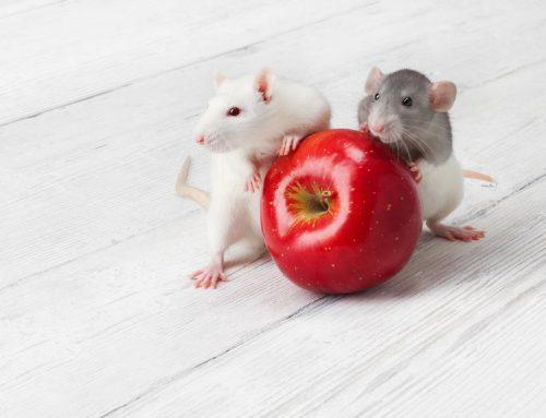 Potkan ako domáce zvieratko. Čo potrebujete vedieť?