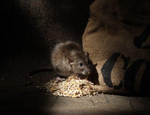 Neviete sa zbaviť potkanov? Vyskúšajte toto!