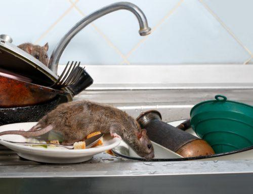 Osvedčené tipy, ako sa zbaviť potkanov